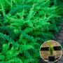Барбарис Тунберга Green Carpet (саджанець)
