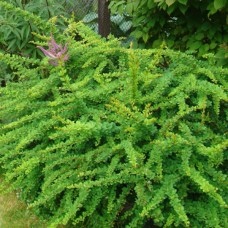 Барбарис Тунберга Green Carpet С1,5