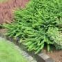Барбарис Тунберга Green Carpet (саженец)