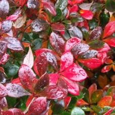 Барбарис средний Red Jewel p9