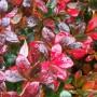 Барбарис середній Red Jewel (саджанець)
