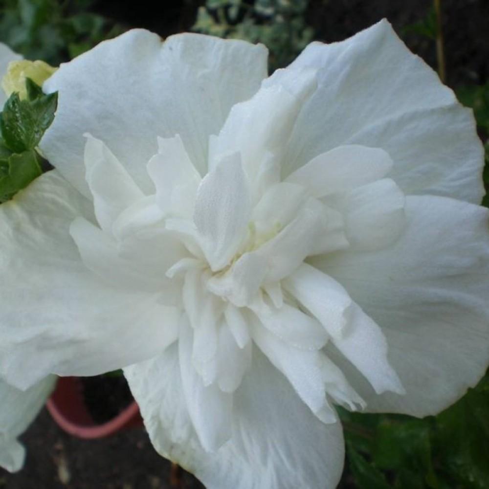 Гібіскус сирійський Білий Махровий (саджанець)