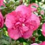 Гібіскус сирійський Рожевий Махровий  (саджанець)