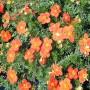 Перстач Hopleys Orange (саджанець)