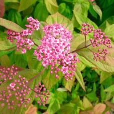 Спірея японська Macrophylla p9