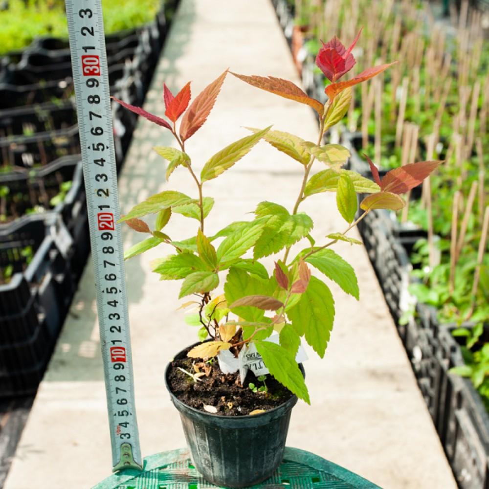 Спірея японська Macrophylla (саджанець)