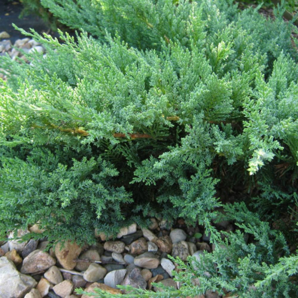 Ялівець козацький Tamariscifolia (саджанець)