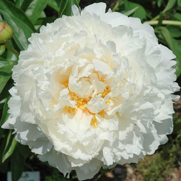 Півонія Gardenia (саджанець)