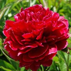 Півонія Red Sarah Bernhardt