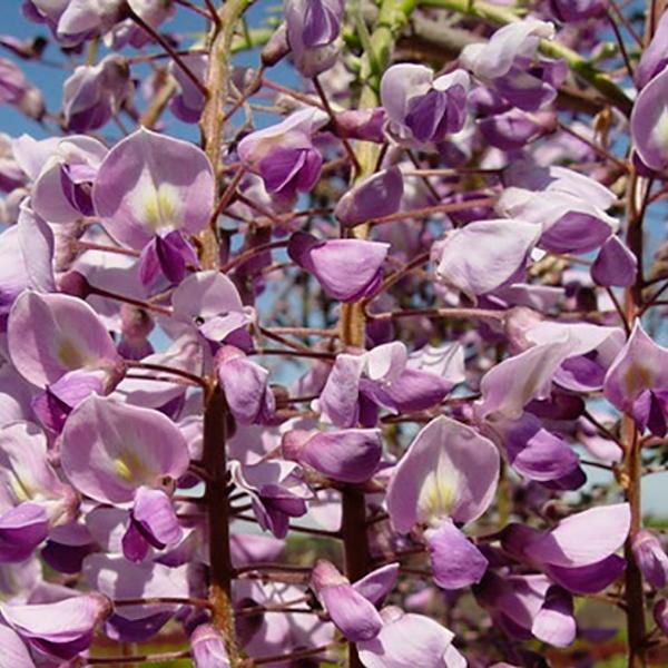 Гліцинія Royal Purple  (саджанець)
