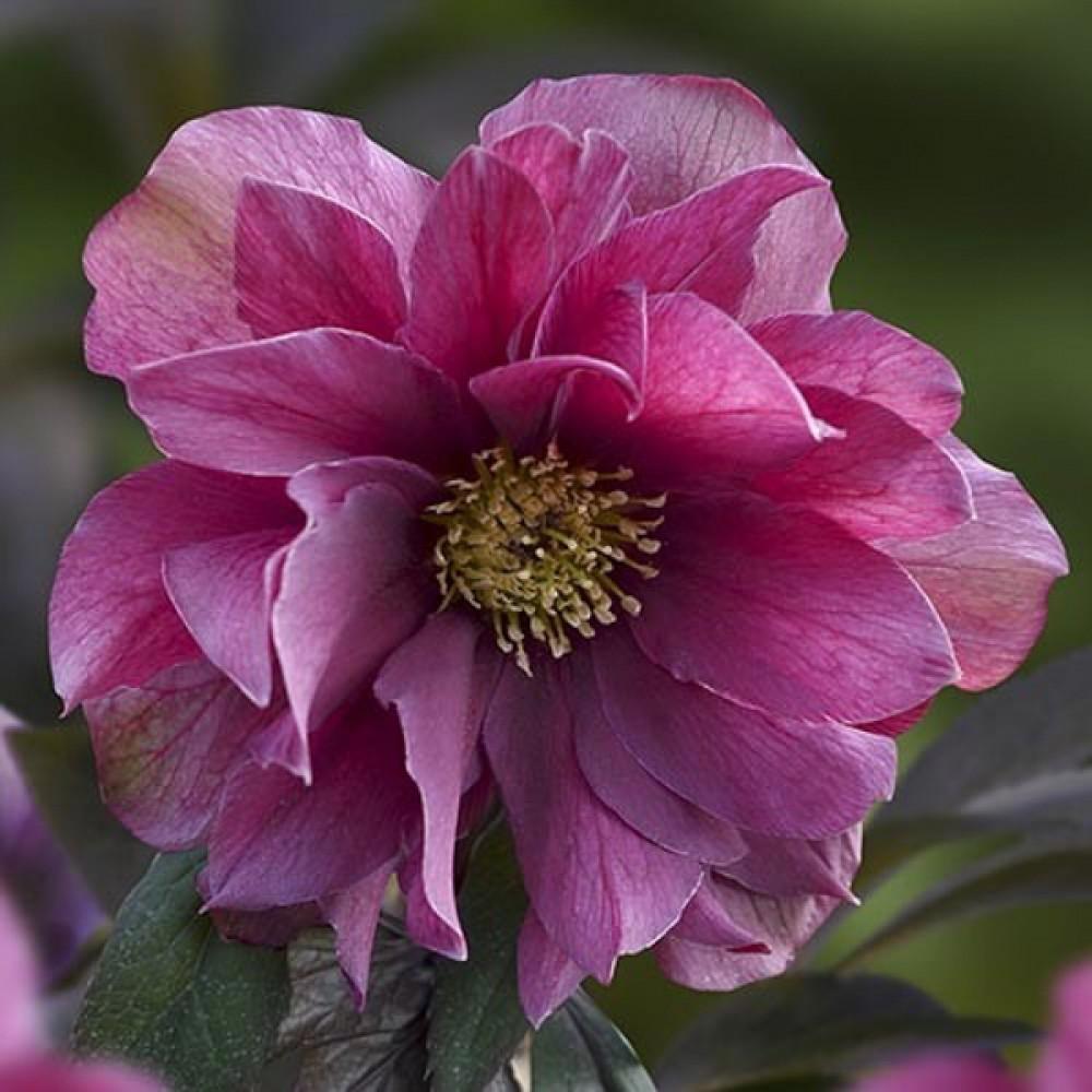 Морозник Prince Double Pink (саджанець)