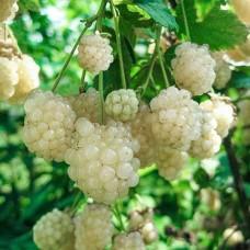 Ежевика Polar Berry