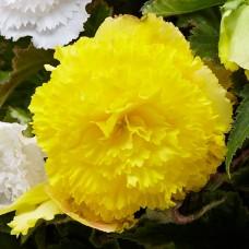 Бегония Fimbriata Yellow