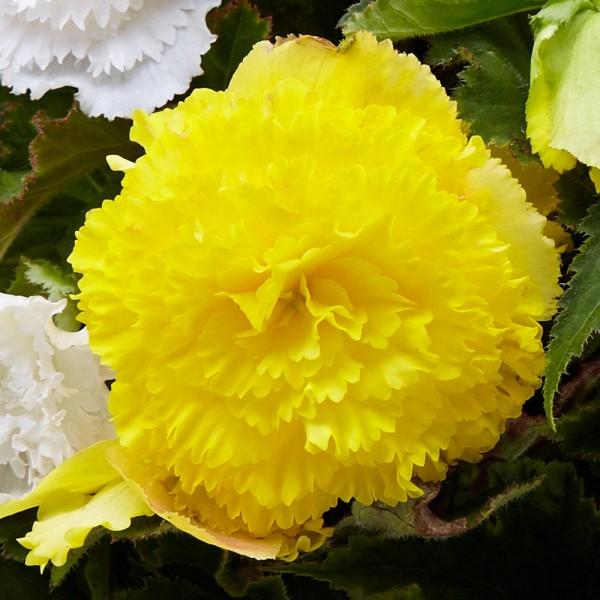 Бегонія Fimbriata Yellow
