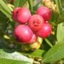 Чорниця Pink Lemonade (саджанець)