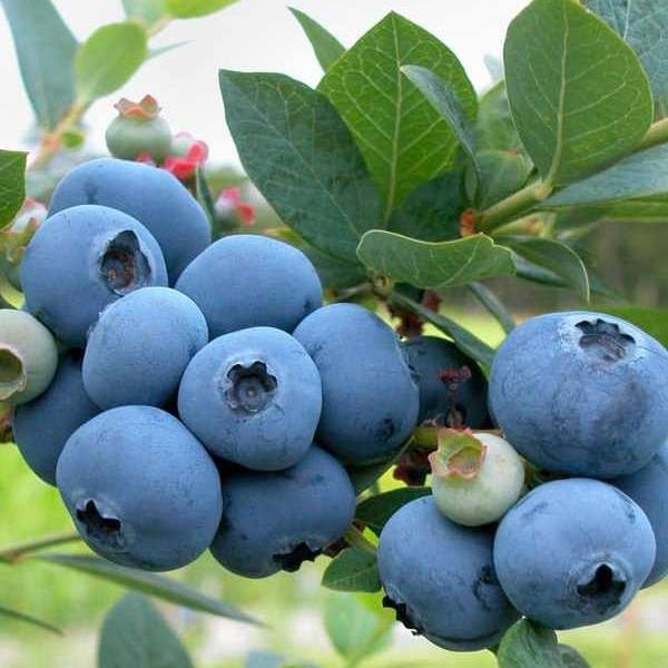 Чорниця Brigitta Blue (саджанець)