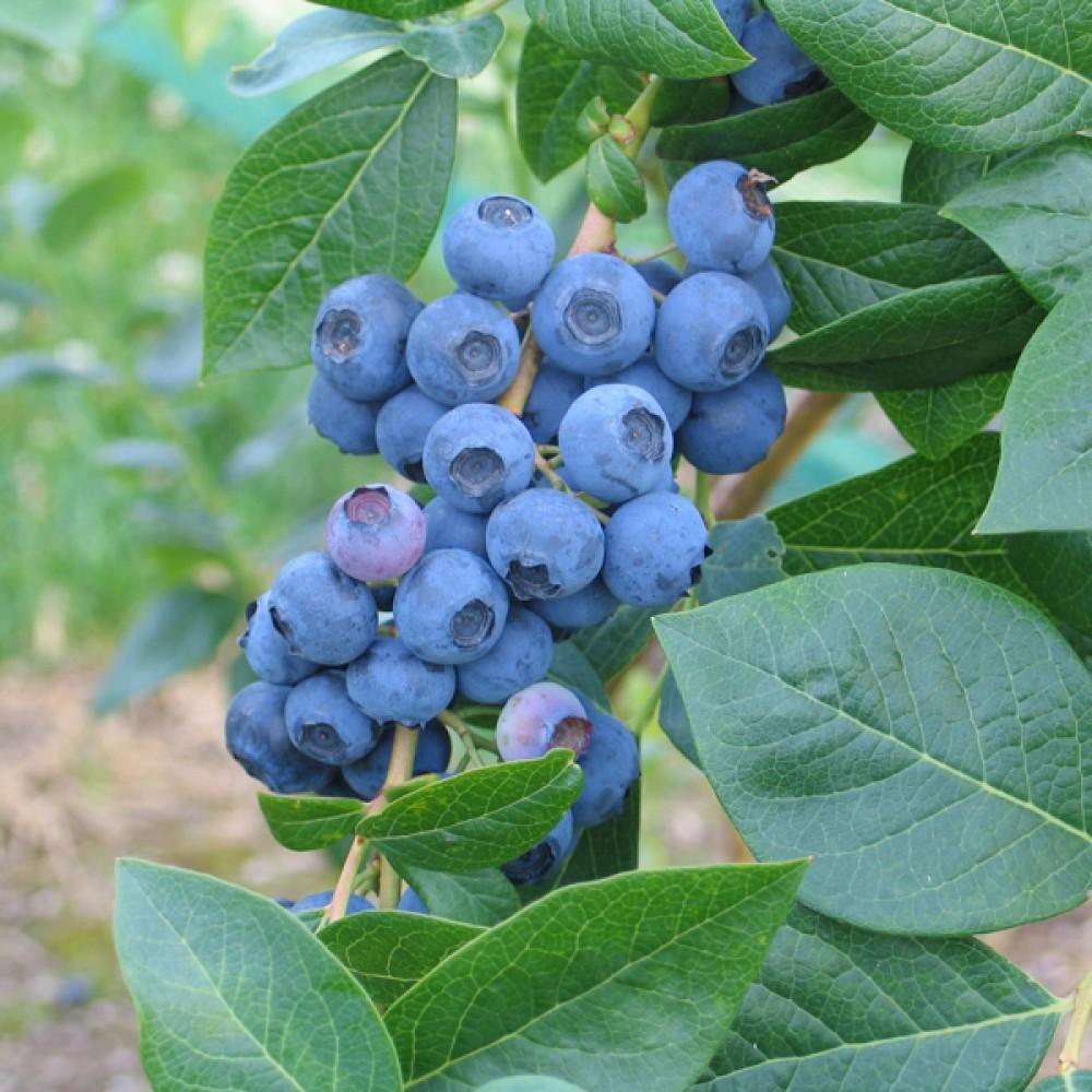 Чорниця North Blue (саджанець)
