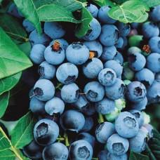 Голубика Blue Crop