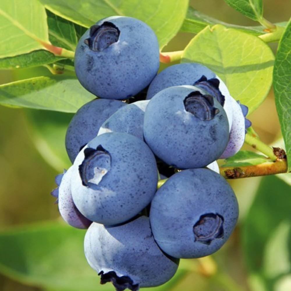 Чорниця Blue Crop (саджанець)