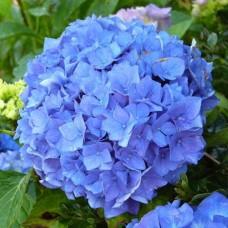 Гортензия в горшке p9 Early Blue