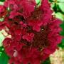 Гортензія Magical Ruby Red (саджанець)