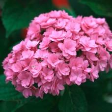 Гортензія в горщику p9 Тogether pink