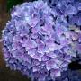 Гортензія Тogether blue (саджанець)