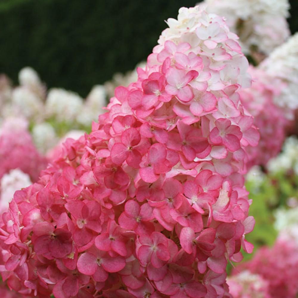 Гортензія Lіving Strawberry Blossom (саджанець)