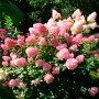 Гортензія Touch of Pink (саджанець)