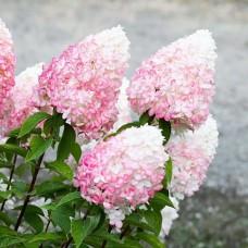 Гортензия в горшке p9 Lіving Little Blossom