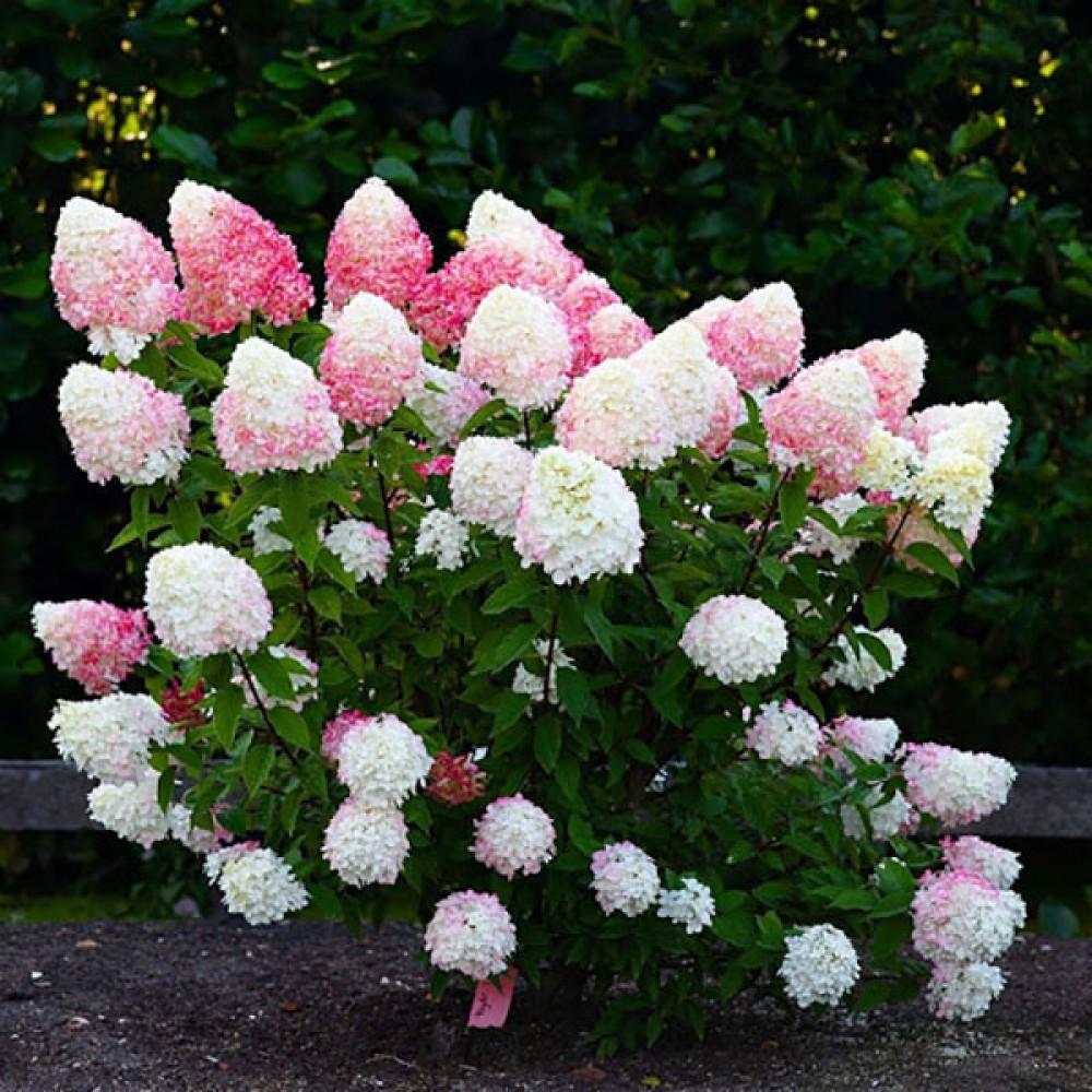Гортензія Lіving Little Blossom (саджанець)