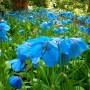 Мак Meconopsis Grandis (Голубий) (саджанець)