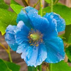 Мак Meconopsis Grandis (Голубий)