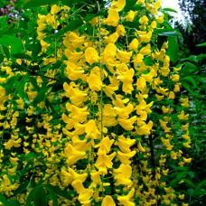 Бобовник Golden Rain p9