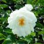 Півонія в горщику Gardenia