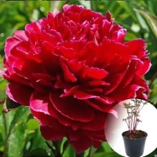 Півонія в горщику Red Sarah Bernhardt