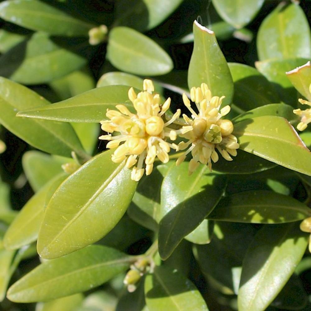 Самшит Buxus вічнозелений (саджанець)