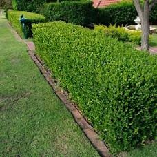 Самшит Buxus вічнозелений p9