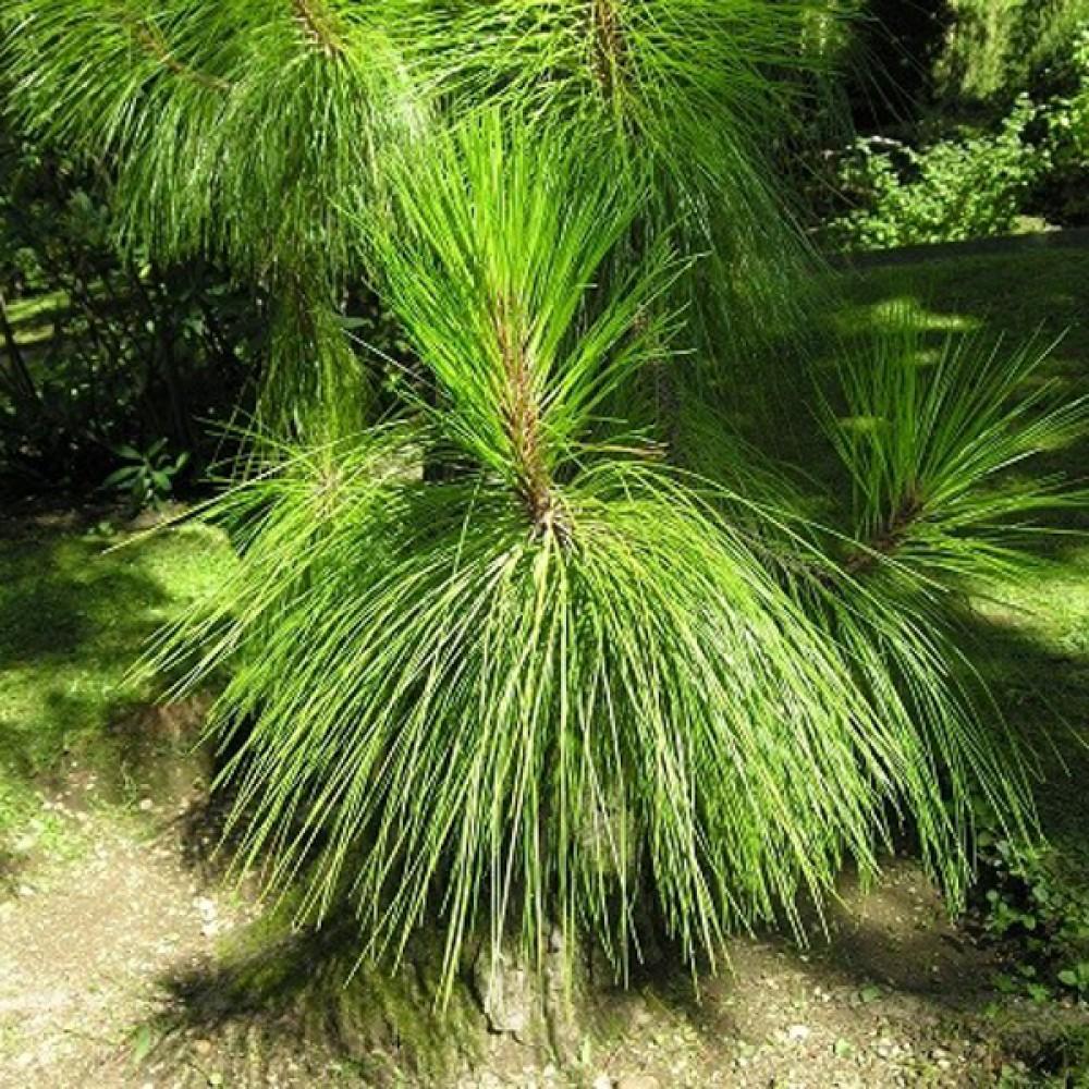 Сосна Yunnanensis (саженец)