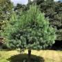 Сосна гімалайська Griffithii (саджанець)