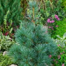 Сосна Parviflora