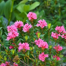 Рододендрон іржавий Alpine Rose p9