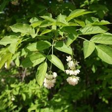 Клокичка периста Staphylea p9