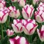 Тюльпан Affaire