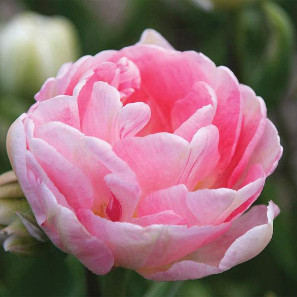 Тюльпан Angelique
