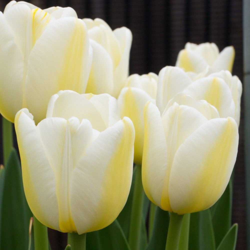 Тюльпан Angels Wish