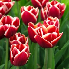 Тюльпан Armani