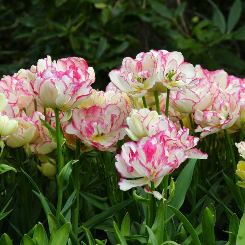Тюльпан Belicia