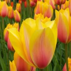 Тюльпан Blushing Lady