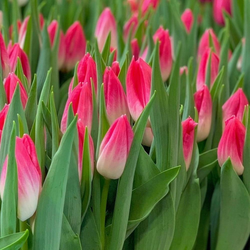 Тюльпан Bolroyal Pink